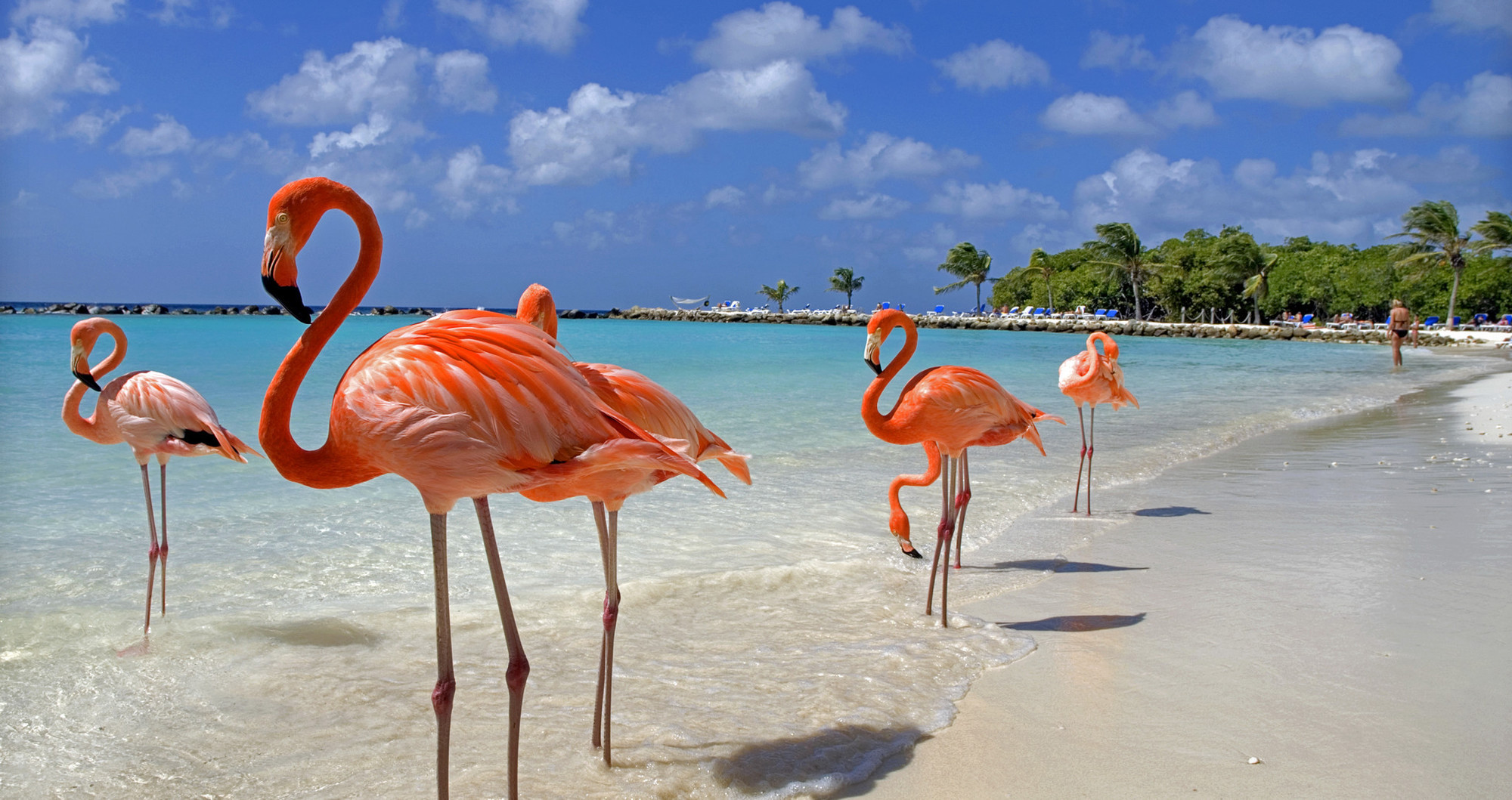 flamingos on the beach in aruba